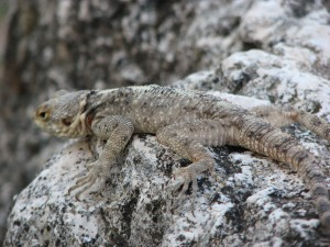 One of the many lizards who still call Apamea home