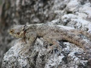 One of the many lizards who still call Apamea home